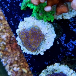 Montipora YELLOW w/ blue polyps