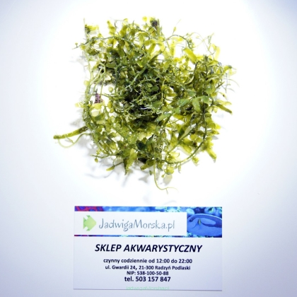 Caulerpa + mix (glony do refugium)