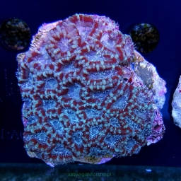 Acanthastrea lordhowensis light green + red